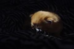 Can't See Me (trins) Tags: lowlight kitten feline peekaboo dslr hiding babycat pentaxkx orangekitten sweetbaby