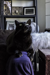 Carl Watching the Ceiling Fan (lennycarl08) Tags: cat blackcat kitties lc blackcats lennyandcarl