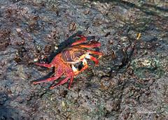 Sally Lightfoot Crab-Galapagos-Bartolome (dfbphotos) Tags: nature spring ecuador nikon wildlife places galapagos april sa bartolome animalplanet 2016 sallylightfootcrab galapagoswildlife
