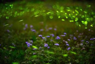 Green Fantasy , Fireflies