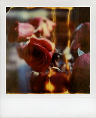 Flaming Roses (tobysx70) Tags: california santa ca day2 red toby roses flower film cemetery polaroid sx70 photography la petals los spring boulevard time angeles bokeh decay flames 66 route monica hollywood april instant week wilted forever hancock expired zero flaming rt blvd rte tz timezero roid 2016 graveside 0906 polaroidweek roidweek
