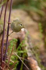 Willow Warbler (skees499 ) Tags: holland netherlands prime nikon wildlife ngc natuur natureshots 300mmf4 willowwarbler fitis d810 keesmolenaar