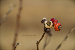 Colors (poirier_georges) Tags: red nature outdoors bush seeds