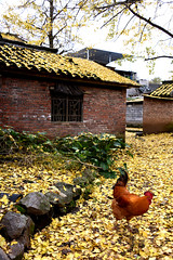 Cock (MelindaChan ^..^) Tags: life china autumn fall yellow ginkgo guilin mel poultry melinda guangxi   chanmelmle melindachan