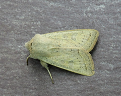 73.247 Powdered Quaker - Orthosia gracilis (erdragonfly) Tags: 73247 orthosiagracilis bf2186