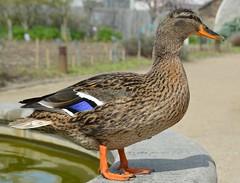 new friend; (sean_o_connire) Tags: dublin gardens duck spring pond botanic
