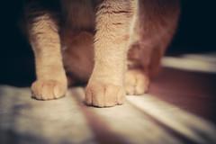 Patas felinas (Juanedc) Tags: orange pet pets animal fauna cat spain feline zaragoza gato aragon felino naranja mascota mascotas saragossa fiumicino anaranjado miyo fiumi valdespartera espaa