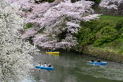 Near the Imperial Palace in Ciyoda, Tokyo (AnotherSaru - Limited mode) Tags: travel flowers japan asian boats japanese tokyo asia cherryblossom sakura  moat chiyodaku kyuden kokyo blooming 2016 chiyoda    tokyoimperialpalace kohkyo kevinfrates
