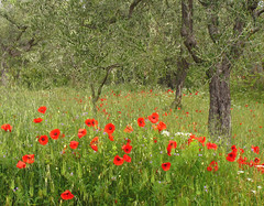 Poppies amongst olive trees (ludi_ste) Tags: red verde green primavera spring poppies rosso ulivi papaveri olivetrees redandgreen