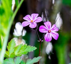 The Sunny Side. (Omygodtom) Tags: macro nature outdoors nikon bokeh scene wildflower tamron90mm hoochie d7100