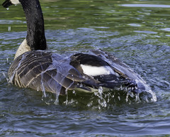 CanadaGoose_SAF3136-2 (sara97) Tags: nature water outdoors wildlife goose missouri saintlouis waterfowl canadagoose brantacanadensis towergrovepark urbanpark photobysaraannefinke copyright2016saraannefinke