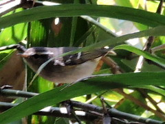 Phylloscopus Warbler, Phylloscopus sp. (asterisktom) Tags: cambodia february warbler 2016 mysterybird phylloscopus senmonorom trip20152016cambodiataiwan