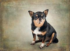 Portrait of a Chihuahua (Tracy Munson Photography) Tags: dog pets toronto chihuahua cute animal photography adorable cuteness gta textured petportrait petphotography tracymunson