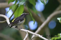 Bananaquit (ricketdi) Tags: bird hat curved bananaquit coth coerebaflaveola birdsofdominicanrepublic sucrierventrejaune coth5 oiseauxdelarpubliquedominicaine beak1