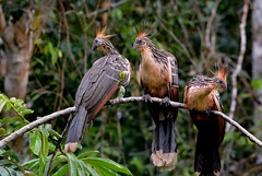Hoatzin (Stinkbirds)  early morning along a tributory to the Napo River, Ecuador Rainforest. (One more shot Rog) Tags: birds ecuador wings rainforest wildlife beak hoatzin napo wildturkeys stink beaks amazonbasin naporiver hoatzinbird stinkbirds stinkybirdfeathers
