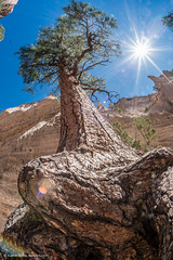 Tree and sun in wide angle (Vironevaeh) Tags: travel newmexico southwest west tree nature outdoors hiking wideangle sunburst tentrocks nationalmonument americanwest theamericanwest sunstar thewest kashakatuwetentrocks