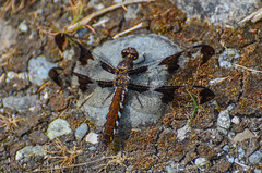 Common Whitetail -  (ajblake05) Tags: canada female dragonfly britishcolumbia insects northamerica coquitlam odonata libellulidae lowermainland greatervancouver commonwhitetail plathemislydia hexapoda minnekhadaregionalpark