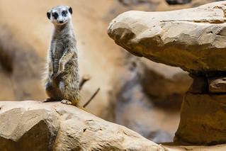A lovely Meerkat