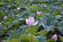 Reaching for the sky (Memories of the Far East) Tags: china park old summer lotus beijing palace 北京 中国 莲花 圆明园 yuanmingyuan