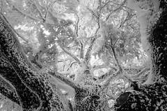 Frozen Cedar (jrseikaly) Tags: trees lebanon white black canon frozen al high dynamic cedar 7d range arz hdr cedars