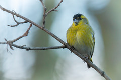 Siskin (Andrew_Leggett) Tags: winter portrait white green bird yellow branch finch perched siskin carduelisspinus rspboldmoor andrewleggett