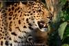 Amoerluipaard - Panthera pardus Orientalis / amurensis - Amur leopard (MrTDiddy) Tags: male cat mammal zoo big kat feline leopard bigcat antwerp antwerpen zooantwerpen amur grote luipaard panthera mannelijk pardus zoogdier orientalis amurensis amoer jarolim grotekat amoerluipaard jarulim