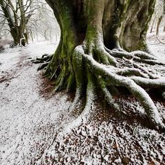 Winter Trees (svensl) Tags: winter tree forest scotland perthshire scottish birch dunkeld schottland