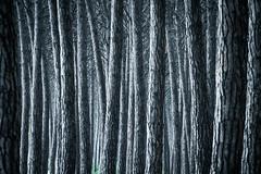 Toskana - Stone pines (PHOTOPHOB) Tags: wood italien italy tree stone lumix italia volterra surreal panasonic pisa pines firenze cypress siena g6 sangimignano toscana toscane holz wald florenz stmme pinien zypressen pinie photophob dmcg6