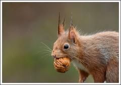 portrait mouillé (guiguid45) Tags: nature nikon squirrel animaux forêt eichhörnchen écureuil sauvage loiret mammifères 500mmf4 d810 spitzenfotos