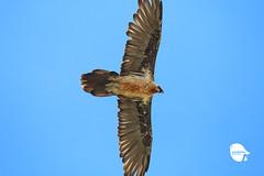 Lammergier (MATU ecotonobirding.com) Tags: spain aragón birding raptor birds birdwatcher pirineo lammergier quebrantahuesos bird