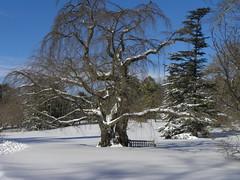 Weeping Cherry and Cedar (MadKnits) Tags: blue trees winter sky white snow tree philadelphia shadows arboretum cedar snowfall blizzard morrisarboretum morrisarboretumoftheuniversityofpennsylvania