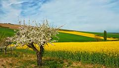 Printemps  Coulanges-la-Vineuse (jjcordier) Tags: if printemps champ pommier colza coulangeslavineuse