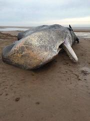 FB_IMG_1453640180089 (awilson157) Tags: uk beach whale whales eastcoast thewash