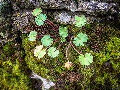 Piedras aejas (Luicabe) Tags: naturaleza muro musgo planta exterior luis zamora cabello piedra airelibre yarat1 enazamorado luicabe