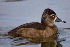 Female Ring-neck Duck (sharp shooter2011) Tags: duck waterfowl ringneck santeelake avianphotography femaleringneckduck