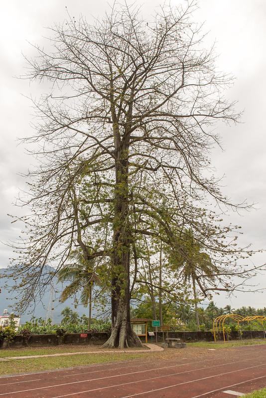 新威國小吉貝木棉 Ceiba pentandra|高雄六龜