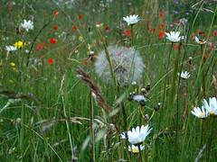 Liggen in het gras (Lensje) Tags: flowers wild summer grass nederland zomer margriet grassen wildebloemen wandavandebovenkamp wijdebloemen