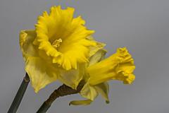 2016-02-13 14-28-58 (C) (Jacob_O) Tags: macro closeup sigma daffodil 105 narcis d7100