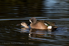 Caught In The Act (J Baker Photography) Tags: florida ducks breeding wetlands teals bluewing