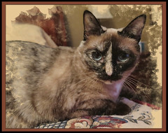 The Look of Jade (gtncats) Tags: pet nature animal cat canon eyes feline siamese indoor jade frame inside loved matte photographyforrecreation canong16 canonpowershotg16 infinitexposure