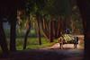 Feeder on the bullock (sa hadi) Tags: tree green canon cow bullock feeder bamboo eso waterhyacinth 60d efs18135mm