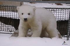 Eisbr Fiete im Zoo Rostock 23.01.2016  06 (Fruehlingsstern) Tags: vienna zoo polarbear vilma eisbr erdmnnchen fiete zoorostock geparden baumknguru canoneos750 tamron16300