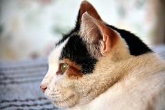 2015_Aralk_26 (zonacsreen) Tags: pet cats animal cat pussycat