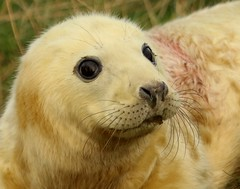 3B4A2169 (Janet-Hedger) Tags: seals donnanook janethedger