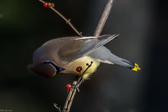 More choices (Explored) (Fred Roe) Tags: nature birds wildlife birding birdwatching waxwing cedarwaxwing birdwatcher bombycillacedrorum peacevalleypark nikonafsteleconvertertc14eii nikond7100 nikkorafs80400mmf4556ged lca71b8597