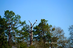 Her eye on the nest ! (backup1940) Tags: texas eagle sony