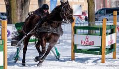 Derby de Qubec 2016 #16 (GilBarib) Tags: horses qubec chevaux xt1 snowderby derbysthubert gilbarib xf50140mmf28rlmoiswr derbysurneige derbydequbec