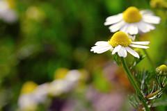 DSCF4785 (Evren Unal Photography) Tags: autumn summer flower color macro green art nature colors field closeup 50mm dof bokeh outdoor ngc deep daisy series fujifilm 60mm depth beatifull artnature