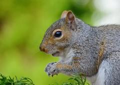 Squirrel (KoolPix) Tags: eye nature animal fur squirrel whiskers nationalgeographic naturephotography naturephotos amazingnature jayd naturephotographer fantasticnature animalphotographer koolpix jdiaz wonderfulbirdphotos jaydiaz jaydiaznaturephotographer wcswebsite