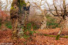 BurnBeech_DSC6831 (Nick Woods Photography) Tags: wood trees tree green woodland woods deadleaves greenery treebark burnham wintersun burnhambeeches treetrunks oldtrees beeches beechtrees leaflitter wintersunshine winterwood ancienttrees